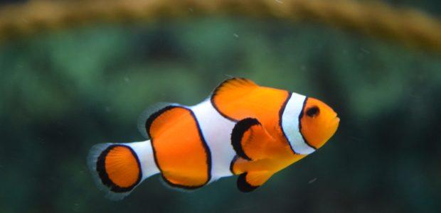 clown fish swimming 128756