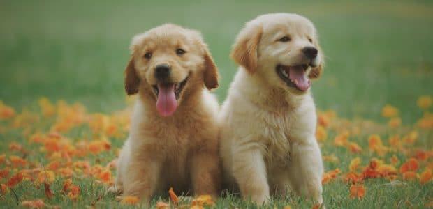 two yellow labrador retriever puppies 1108099
