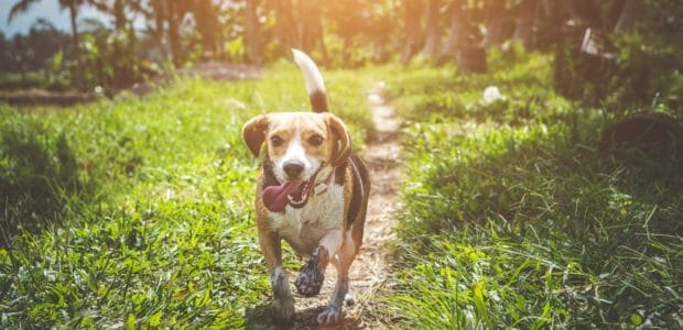 adult beagle walking on grass field 1485637