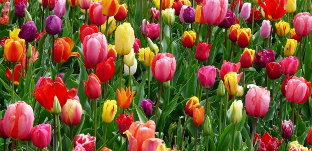 red purple and yellow tulip fields 69776
